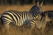 Plains Zebra (Equus burchelli) and calf in tall grass on savanna at sunrise by Danita Delimont