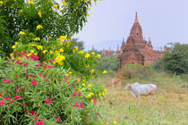 Cows grazing near Bagan temples by Danita Delimont