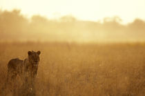 Male Lion (Panthera leo) walking in tall grass near Khwai River at dawn by Danita Delimont