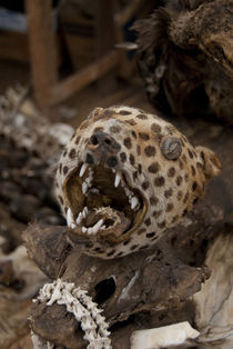 Spotted big cat skull by Danita Delimont