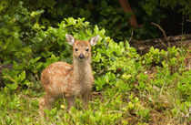 Sitka black tailed deer by Danita Delimont