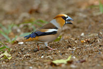 Hawfinch (Coccothraustes coccothraustes) male eating hornbeam seed on forest floor by Danita Delimont
