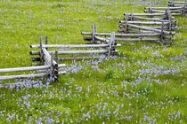 Meadow of penstemon wildflowers and cross stitch fence in the Sawtooth National Forest near Stanley Idaho von Danita Delimont
