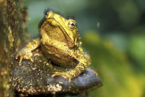 Close-up of Green Climbing Toad (Bufo coniferus) in rainforest near San Juan River by Danita Delimont