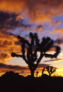 Spectacular Sunrise at Joshua Tree National Park in California by Danita Delimont