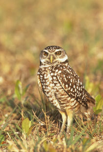 A burrowing owl in its colorful habitat at the local airport by Danita Delimont