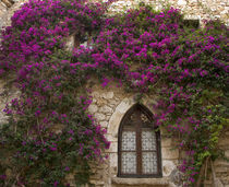 Bright pink bougainvillea surrounding a gothic- style window by Danita Delimont