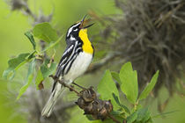 Male yellow-throated warbler singing on branch von Danita Delimont
