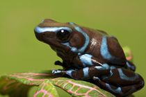 Close-up of blue and black dart frog by Danita Delimont