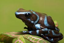 Close-up of blue and black dart frog von Danita Delimont