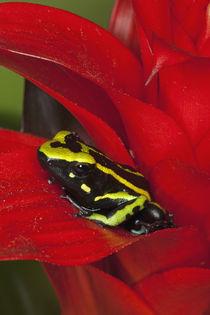 Close-up of three-stripe dart frog von Danita Delimont