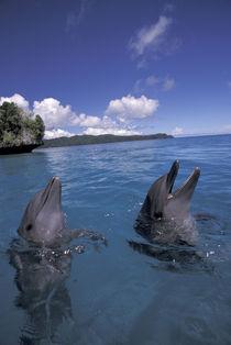 Palau Bottlenose dolphins (Tursiops truncatus) by Danita Delimont