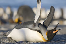 King Penguins (Aptenodytes patagonicus) lying on belly while stretching wings along shoreline at massive rookery along Saint Andrews Bay at sunset on summer evening by Danita Delimont