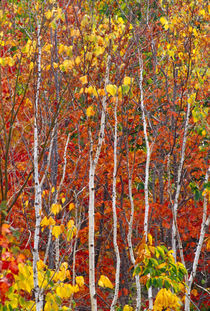 Autumn aspens in Acadia National Park by Danita Delimont