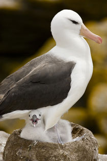 Profile of black-browed albatross parent protecting chick in nest by Danita Delimont