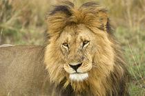 Close-up of lion von Danita Delimont