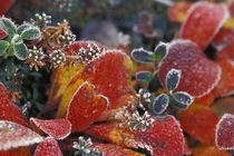Fall-colored bearberry (Arctostaphylos uva-ursi) by Danita Delimont