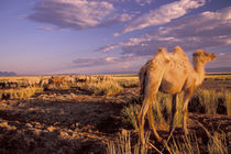 Camel; bactrian (Camelus bactrianus) by Danita Delimont