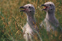 Great Black-backed seagull chicks by Danita Delimont