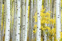 Aspen Grove by Danita Delimont