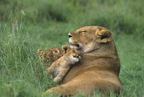 African lion mother and three cubs von Danita Delimont