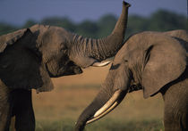 Two Bull elephants (Loxodonta africanus) sparring with tusks on savanna by Danita Delimont