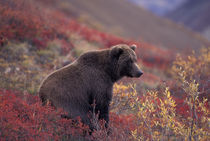 A female grizzly bear stands on alpine tundra in fall color von Danita Delimont