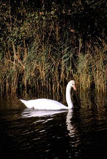 Mute swan von Danita Delimont