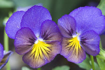 A closeup of pansy blossoms by Danita Delimont