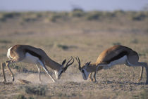 Two male Springbok (Antidorcas marsupialis) sparring by Danita Delimont