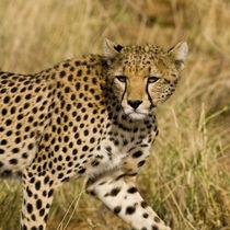 Cheetah at Samburu NP by Danita Delimont