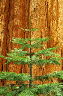 Young Sequoia tree in the Mariposa Grove by Danita Delimont