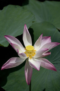 Pink lotus flower by Danita Delimont
