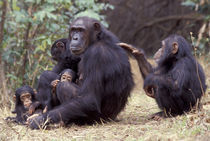 Gombe NP Infant female chimpanzee (Pan troglodytes) grooms her mother von Danita Delimont