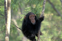 Gombe NP Infant male chimpanzee (Pan troglodytes) by Danita Delimont
