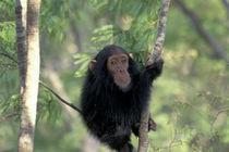 Gombe NP Infant male chimpanzee (Pan troglodytes) von Danita Delimont