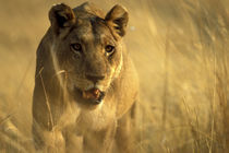 Lioness (Panthera leo) walking through tall grass near Xakanaxa by Danita Delimont