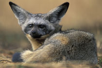 Bat Eared Fox (Otocyon megalotis) rests on savanna in early morning von Danita Delimont