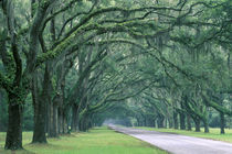 Oak-lined drive by Danita Delimont
