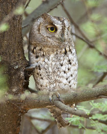 African Scops Owl at Tarangire NP by Danita Delimont