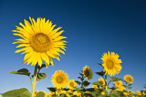 Sunflowers stand tall against a blue sky von Danita Delimont