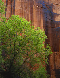 Tree in front of steep rock face by Danita Delimont