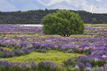 Blooming lupine and tree near Lake TeAnua by Danita Delimont