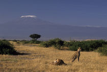 Lying in grass with Acacia tree and Mt Kilimanjaro in distance by Danita Delimont