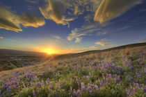Sunset over the Bitterroot Mountains and vast field of lupine wildflowers looking west from Missoula Montana by Danita Delimont