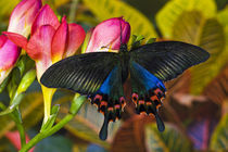 Washington Tropical Butterfly Photograph of Swallowtail Butterfly Papilio Hoppo from Tiawan by Danita Delimont