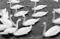 Swans on the Reuss River by Danita Delimont