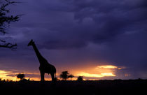 Colorful sunset late afternoon image of safari in Kenya Africa with wild giraffe roaming the jungle by Danita Delimont