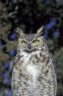 Wildlife West Nature Park Great Horned owl (Bubo virginianus); captive by Danita Delimont
