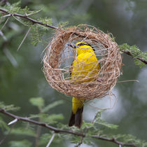 Female Black-Necked Weaver building a nest in Tarangire NP by Danita Delimont